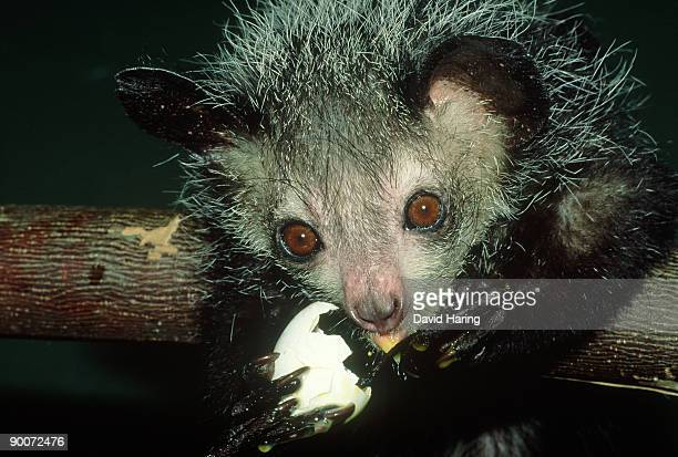 aye-aye: daubentonia madagascariensis  adult feeding on egg pumping out contents with 3rd finger