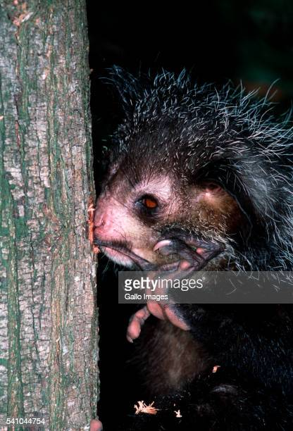 Aye-aye Lemur Foraging in Tree Trunk