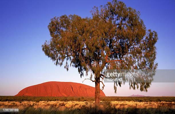 ayers rock (uluru), desert oak tree, kata tjuta in background, nt, aust.