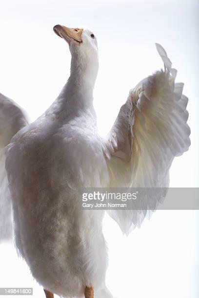 aylesbury duck on white background - 翼を広げる ストックフォトと画像