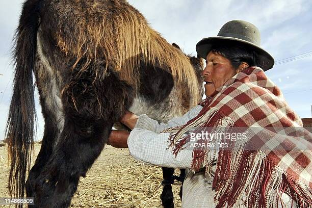 Aymara woman Dona Rufina Apaza milks a female donkey in El Alto 12 km from La Paz on May 25 2011 The Aymaras believe in the healing qualities of the...