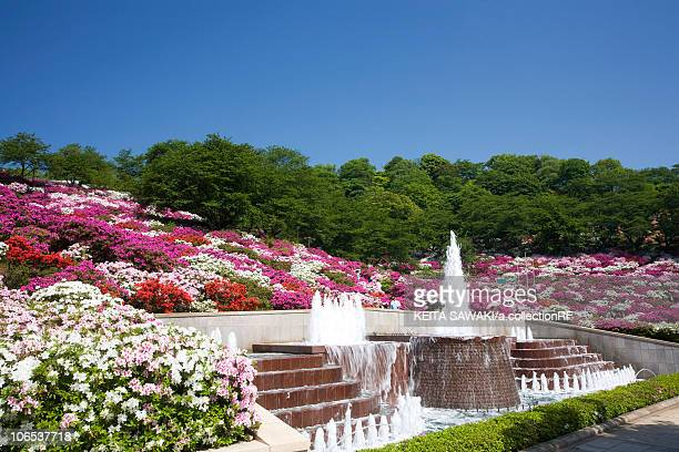 azalea at nishiyama park, fukui prefecture, honshu, japan - fukui prefecture - fotografias e filmes do acervo
