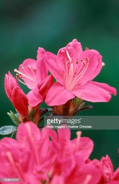 Azalea blossom (Azalea hybrida)