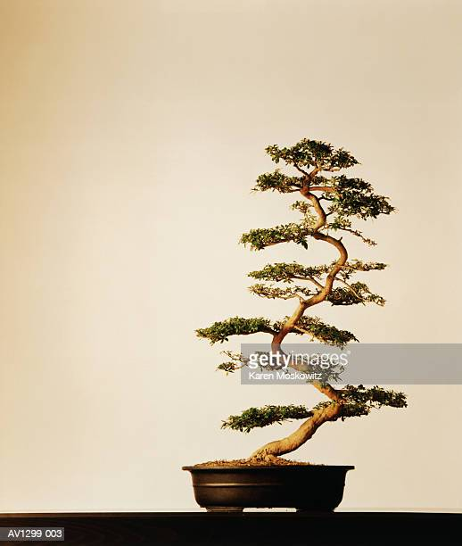 azalea bonzai - bonsai tree stock pictures, royalty-free photos & images