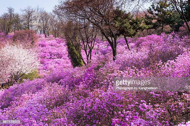 azalea flower - bucheon stock pictures, royalty-free photos & images