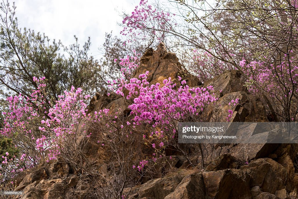 Azalea flower : Stock Photo