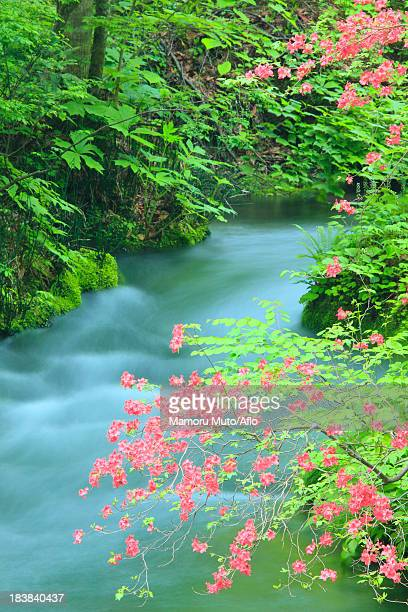 azalea flowers and oirase mountain stream,  aomori prefecture - heather brooke ストックフォトと画像