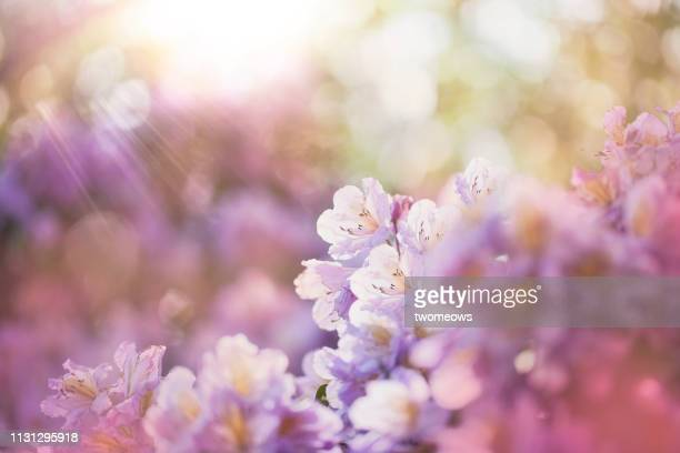 azalea flowers blooming in morning light. - springtime stock pictures, royalty-free photos & images