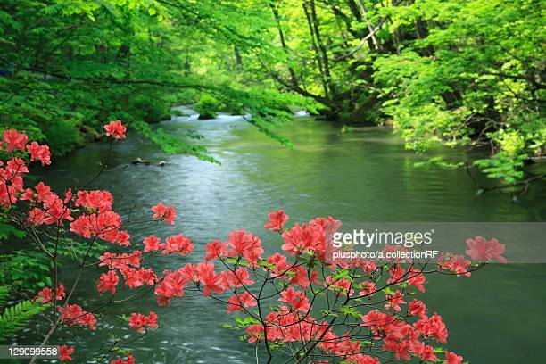 Azalea Flowers over Oirase Stream
