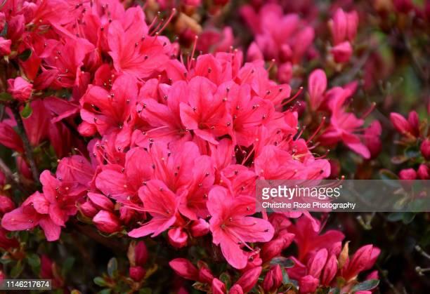 azalea flowers - christine heather stock pictures, royalty-free photos & images