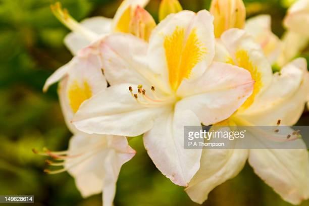 azalea flowers - azalea stock pictures, royalty-free photos & images
