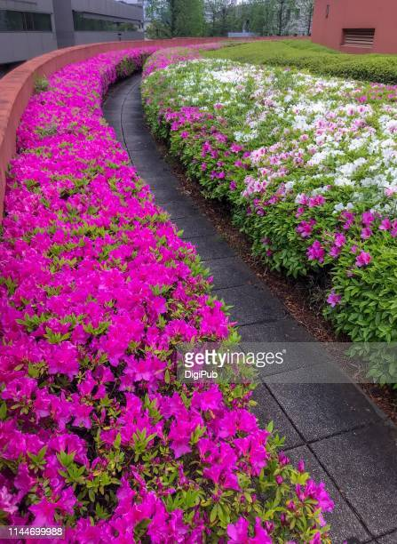 azalea in bloom - azalea stock pictures, royalty-free photos & images