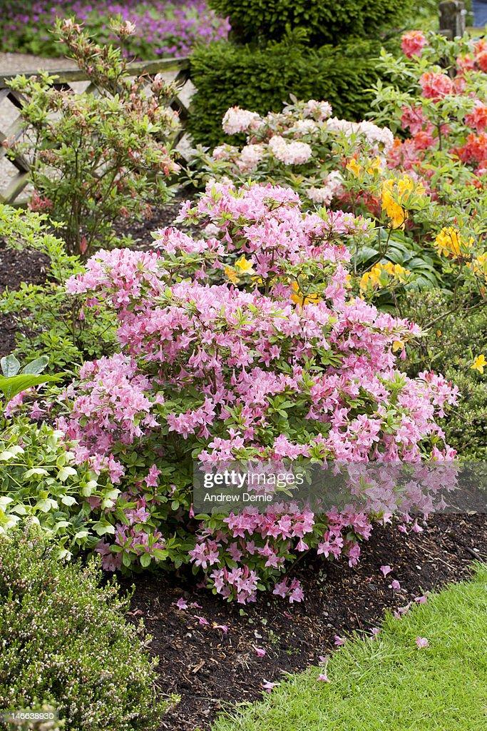 Azalea in bloom : Foto de stock