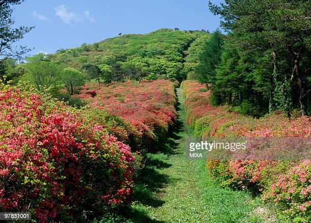 azalea, kesennuma, miyagi, japan - miyagi prefecture stock pictures, royalty-free photos & images