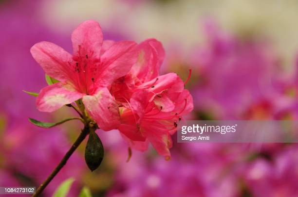 azalea - may stock pictures, royalty-free photos & images
