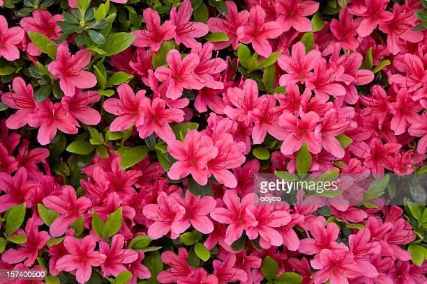 azalea - azalea stock pictures, royalty-free photos & images