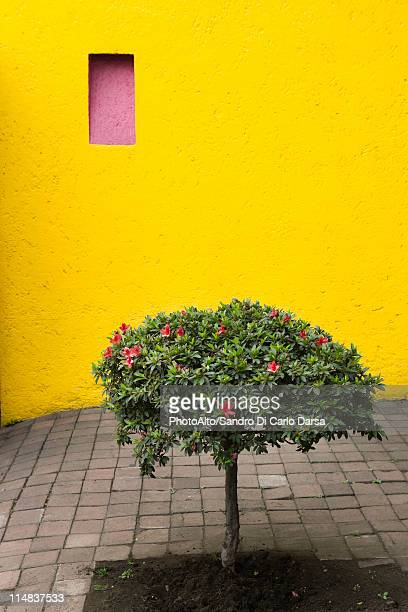 azalea tree growing in courtyard - stucco stock pictures, royalty-free photos & images