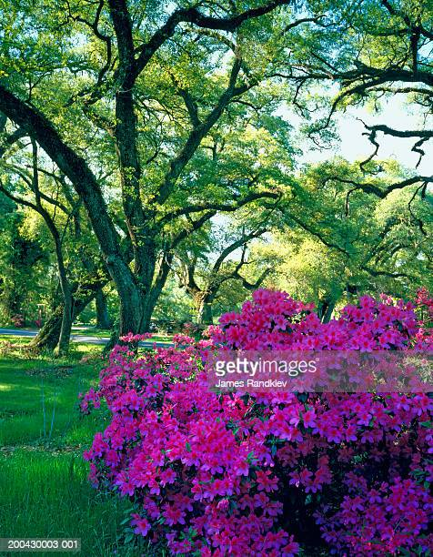azaleas (rhododendron vaseyi) among live oaks (quercus virginiana) - live oak tree stock pictures, royalty-free photos & images