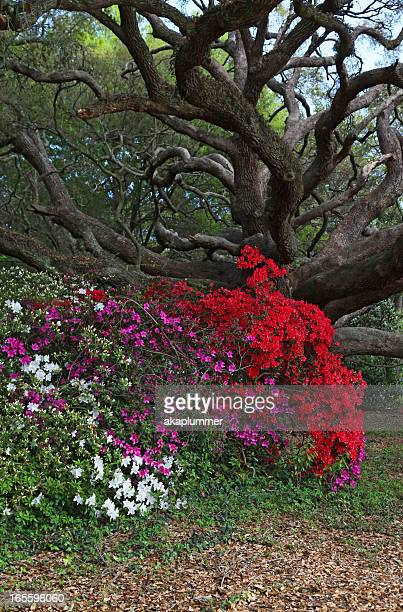 azaleas and live oak - live oak tree stock pictures, royalty-free photos & images