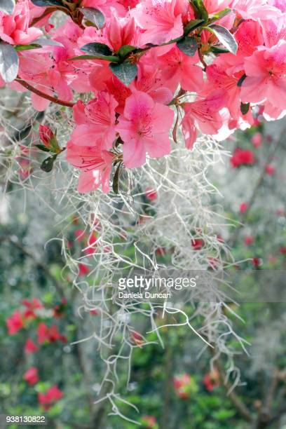 azaleas and spanish moss - spanish moss stock pictures, royalty-free photos & images