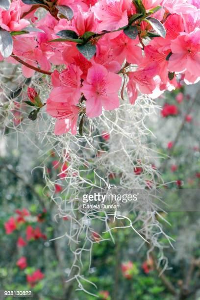 azaleas and spanish moss - musgo español fotografías e imágenes de stock