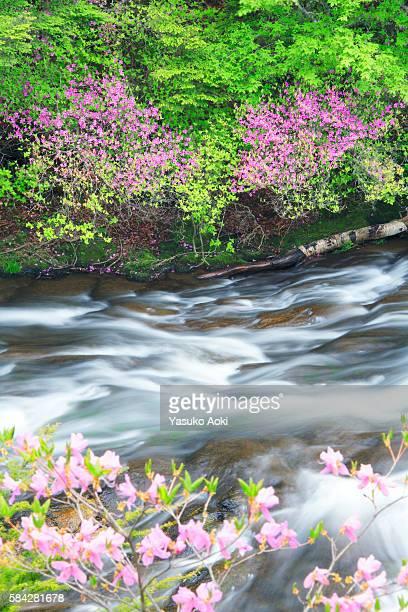 azaleas and stream - heather brooke ストックフォトと画像