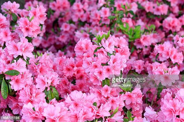 Azaleas are seen during a practice round prior to the start of the 2015 Masters Tournament at Augusta National Golf Club on April 6 2015 in Augusta...