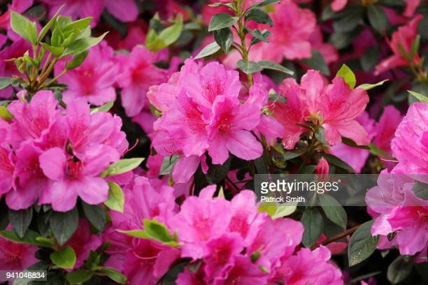 Azaleas are seen in bloom during a practice round prior to the start of the 2018 Masters Tournament at Augusta National Golf Club on April 2 2018 in...