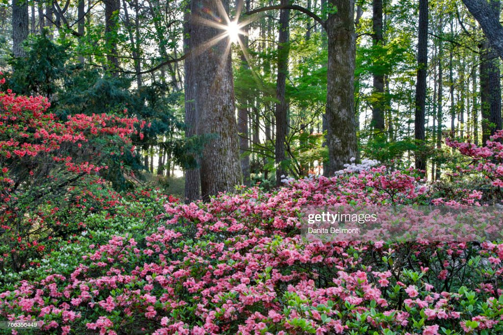 Azaleas Blooming In Forest Filled With Sunlight, Callaway Gardens, Georgia,  USA : Stock