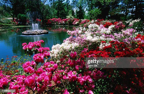azalea's, honor heights park azalea festival. - azalea stock pictures, royalty-free photos & images