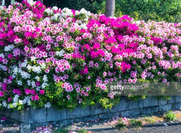 azaleas in the park - azalea stock pictures, royalty-free photos & images