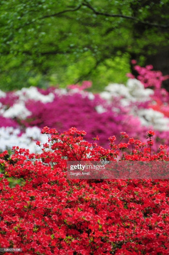 Azaleas : Stock Photo