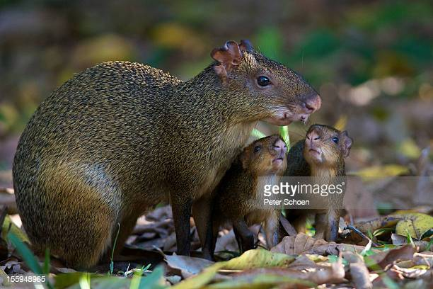 Azara's Agouti  with young