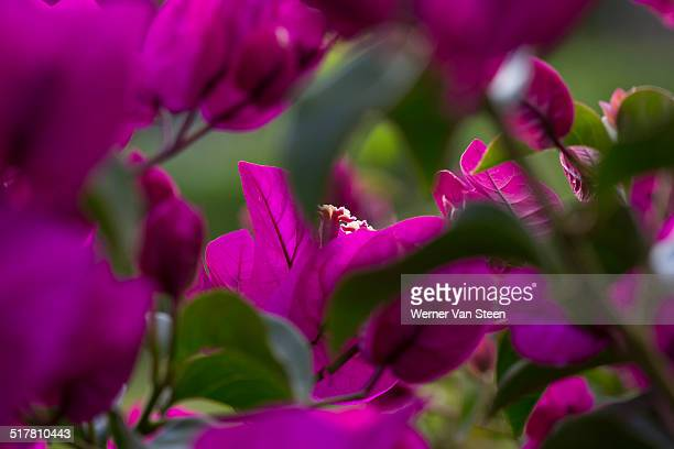 azores flowers - nature stockfoto's en -beelden