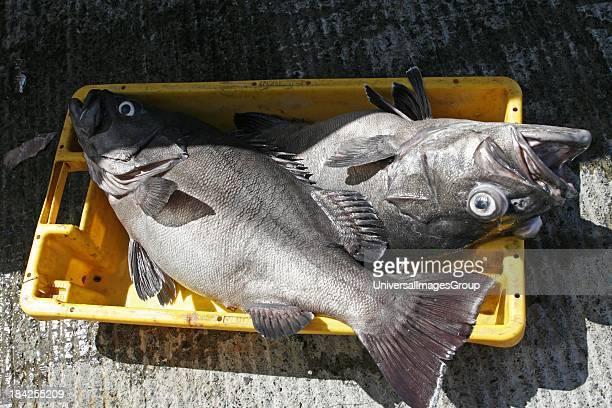 Azores San Miguel Island fishing port Mosterios fish Black Sea Bass