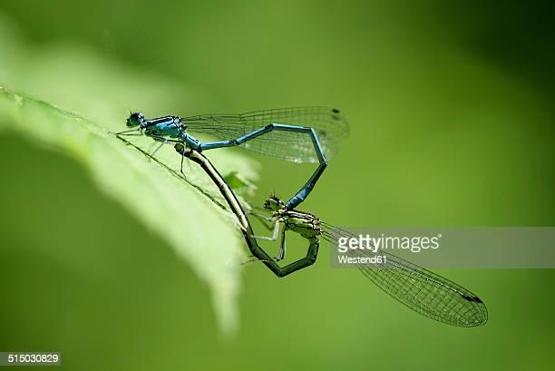 Azure damselflies in oviposition, close-up