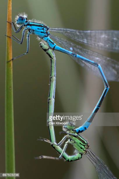 Azure damselflies mate near a pond at the RSPB's Broadwater Warren on June 18 2017 in Tunbridge Wells England Of the 42 species of Dragonfly in the...