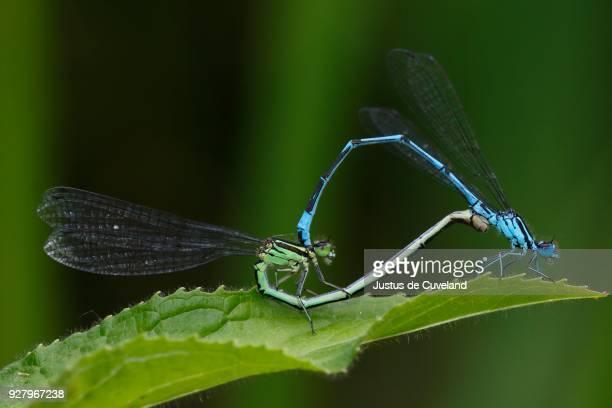 azure damselfly (coenagrion puella), mating, male and female mating wheel, schleswig-holstein, germany - tierpaarung stock-fotos und bilder