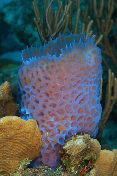 Azure Vase Sponge Callyspongia Plicifera Curacao Netherlands