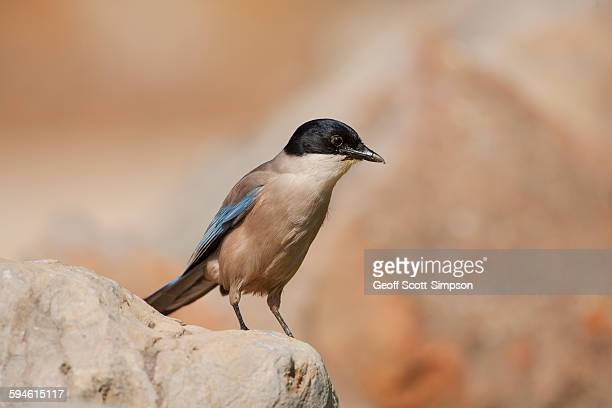 azure-winged magpie, zure-winged magpie cyanopica - faro city portugal stock photos and pictures