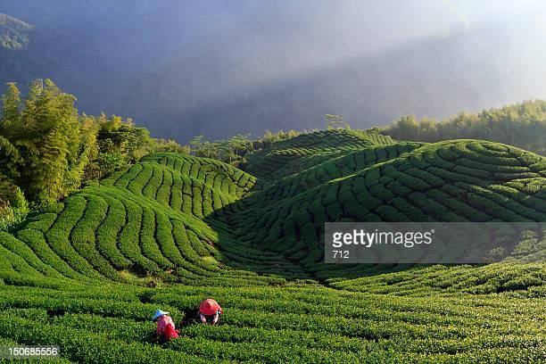 ba gua tea garden - taiwan stock pictures, royalty-free photos & images