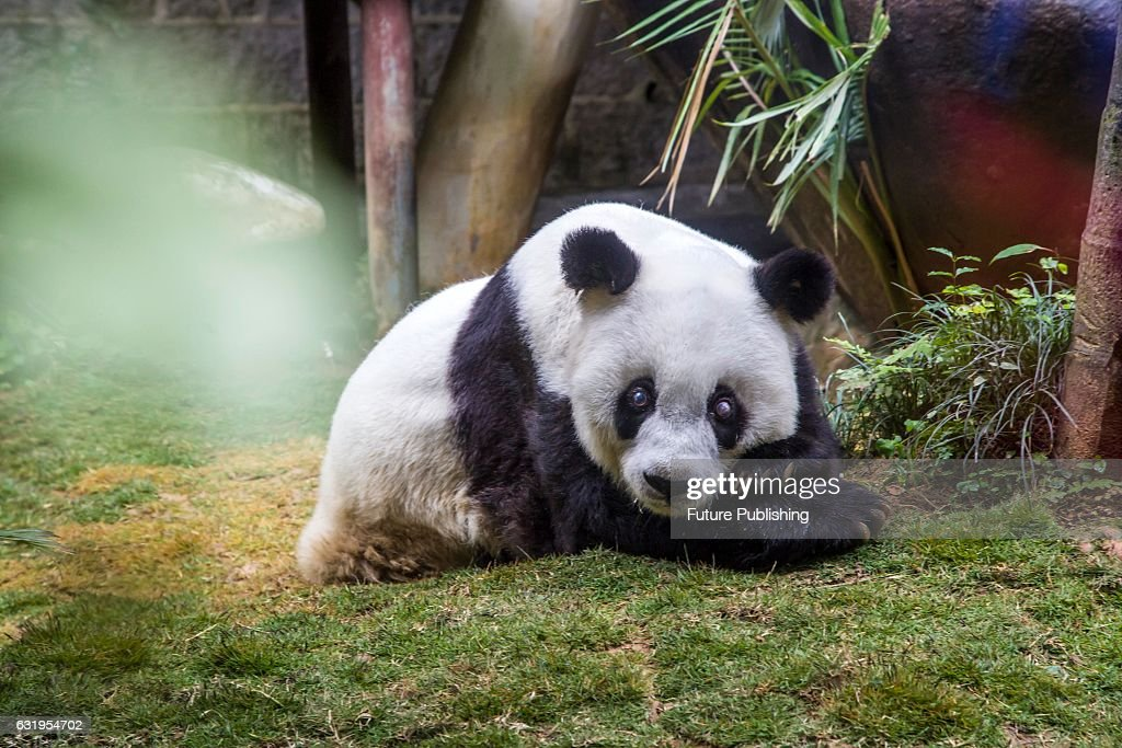 Ba Si The 37 Year Old Panda Eats Her Birthday Cake As Her Keepers