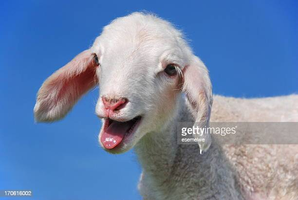 baa - goats stock pictures, royalty-free photos & images