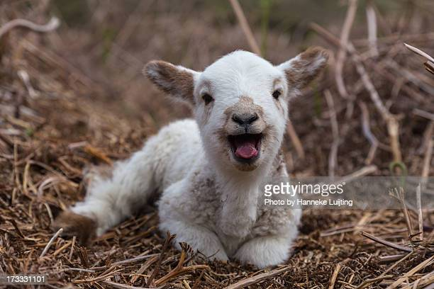 baaaa! - young animal stock pictures, royalty-free photos & images