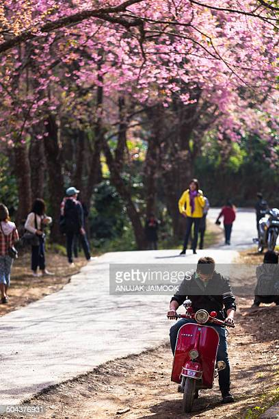 CONTENT] Baan Khun Chang Kian is where Cherry Blossom or Sakura flower can be seen in Thailand Baan Khun Chang Kian or known as Khun Chang Kian...