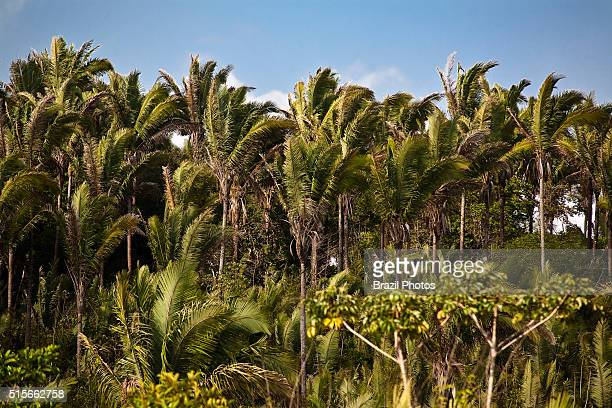 Babaçu trees Maranhao State northeastern Brazil This plant has commercial value because its seeds produce an edible oil called babassu oil which is...