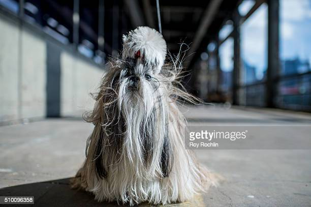 Babe the Shih Tzu attends 7th Annual AKC Meet The Breeds at Pier 92 on February 13 2016 in New York City