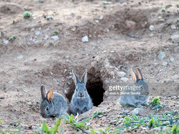 Babies of field rabbits going out of his burrow,  ( Species Oryctolagus cuniculus.)