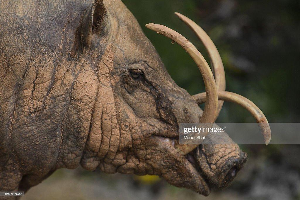 Babirusa facial tusks : Stock Photo