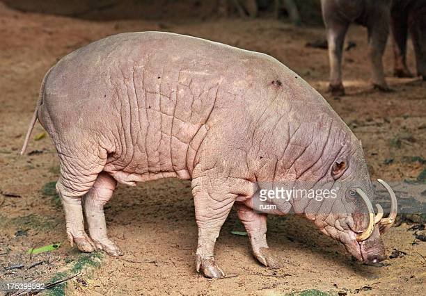 babirusa - ugly pig stock pictures, royalty-free photos & images